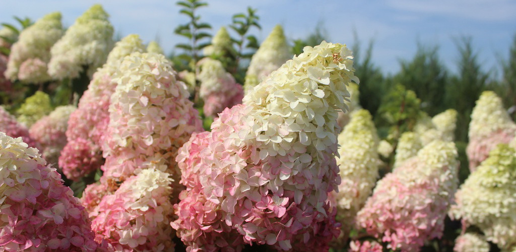 Hydrangea-paniculata-Fraise-Melba-14