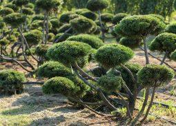 gornye-sosny-bonsaj