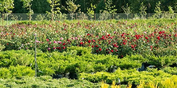 ПИТОМНИК НИКИТЕНКО — Лучшее в вашем саду